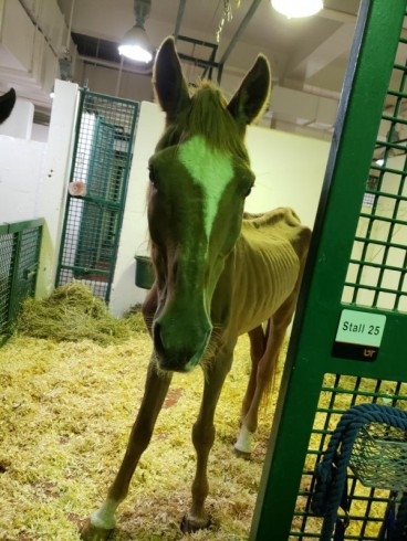 Chip at UTCVM. (Photo: Horse Haven of TN)